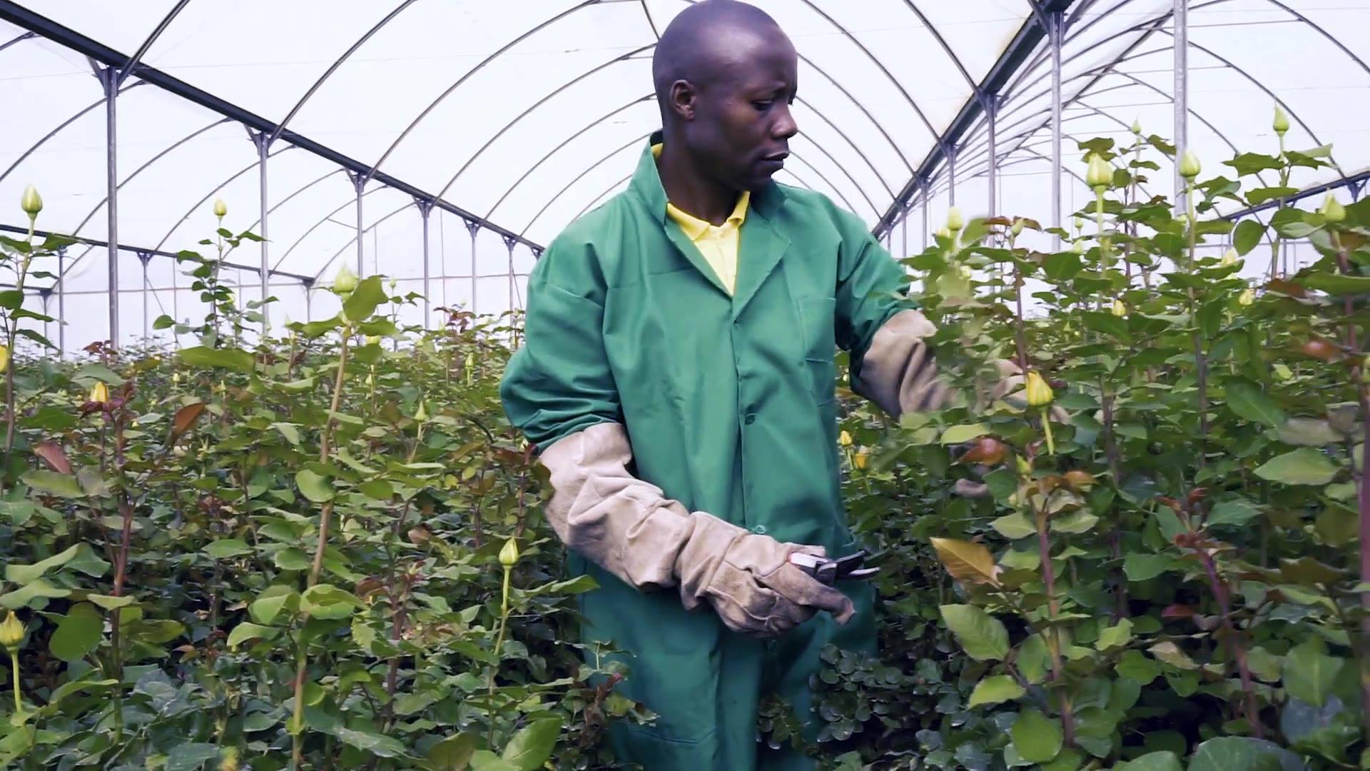 Ellias Walekhwa, rosodlare i Kenya