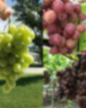 collage uva2.jpg
