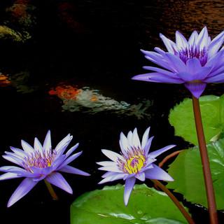 koi blue flower