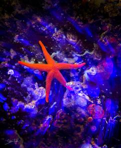 astral sea star rev.jpg