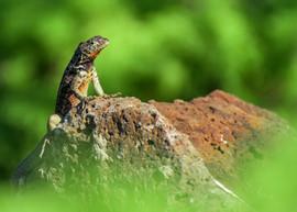 lizard .4ev.jpg