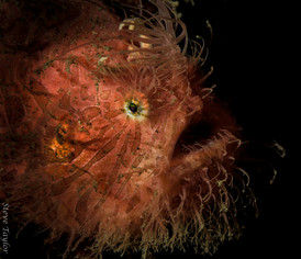hairy frogfish.jpg