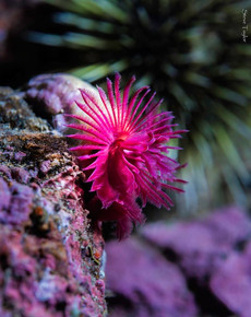 red tube worm.jpg