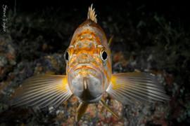 canary rockfish.jpg