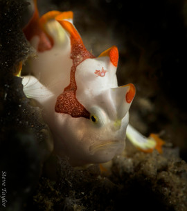 pygmy frogfish.jpg