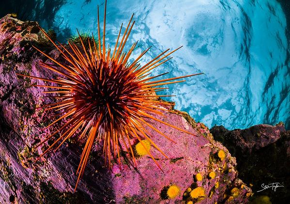 urchin rev.jpg