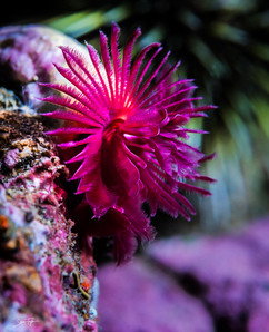 feather duster worm.jpg