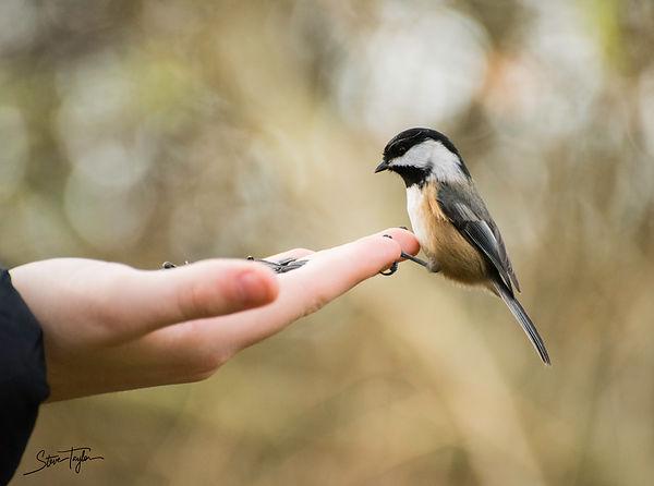 Chickadee, Reifel Bird Sanctuary
