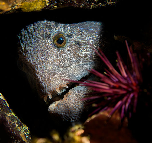 Wolf eel, Port Hardy, British Columbia, Canda