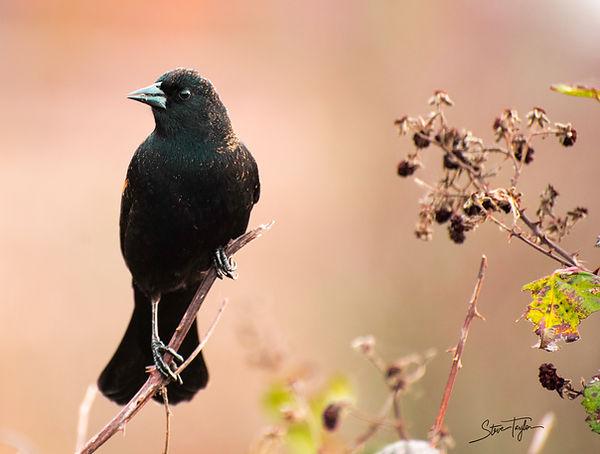 Redwing Blackbird, Reifel Bird Sanctuary