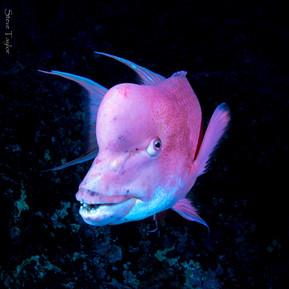 Hogfish.jpg