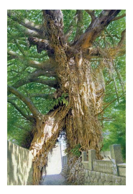 奈良尾神社のアコウの樹(五島百景)ポストカード
