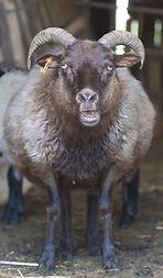 Moorit Icelandic Sheep Maine