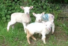 3 baby lambs