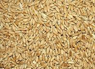 Semilas de Trigo Rojo Duro para Wheatgrass