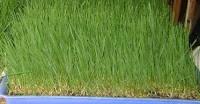 Pasto de Trigo Wheatgrass