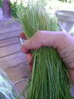 Pasto de Trigo cortado