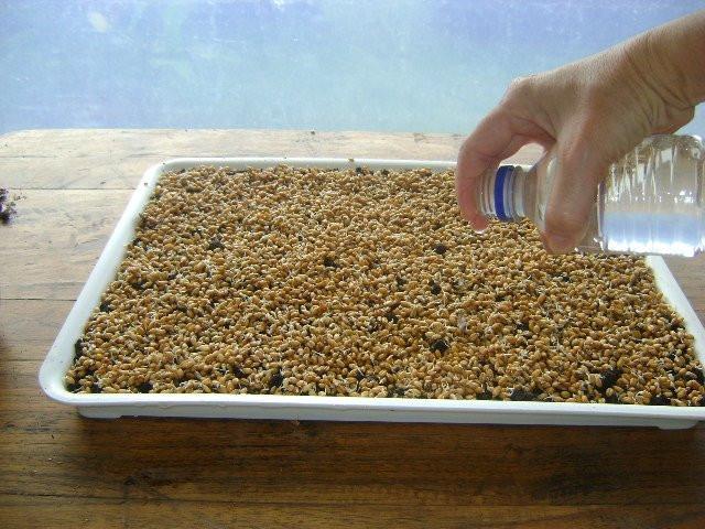 riego manual de las semillas bandeja germinadora