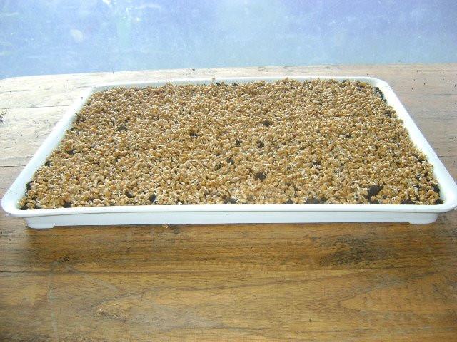 semilla esparcida en bandeja germinadora