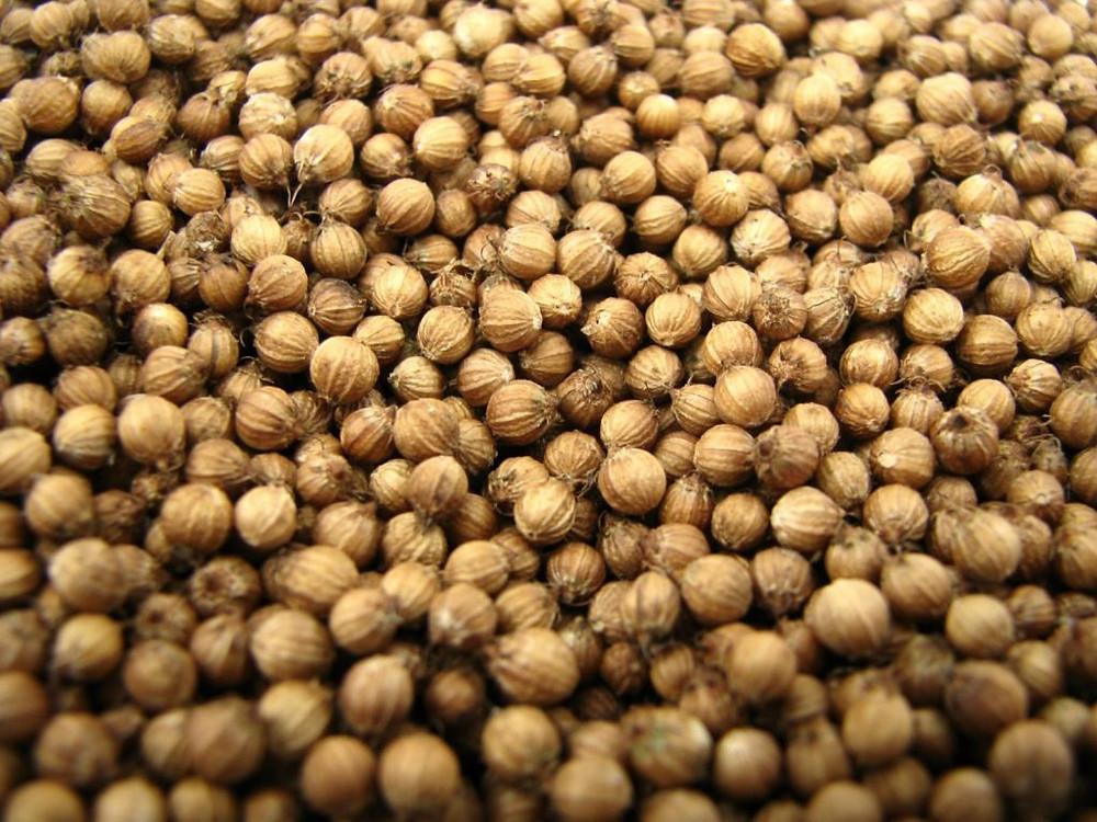 semilla de cilantro
