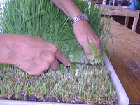 Cortando Pasto de Trigo