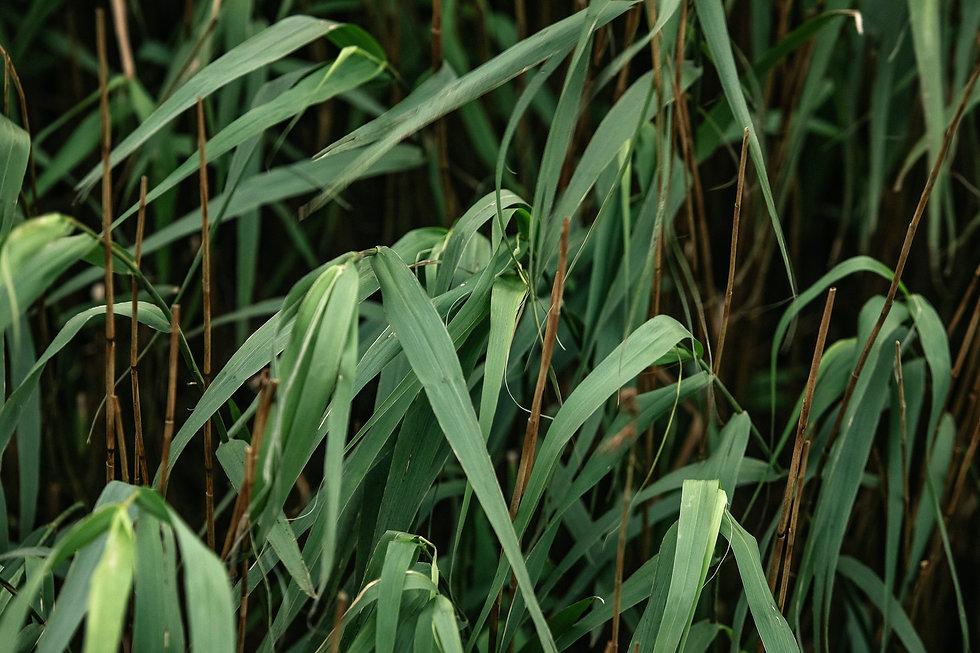 Hattiers Reeds.jpg