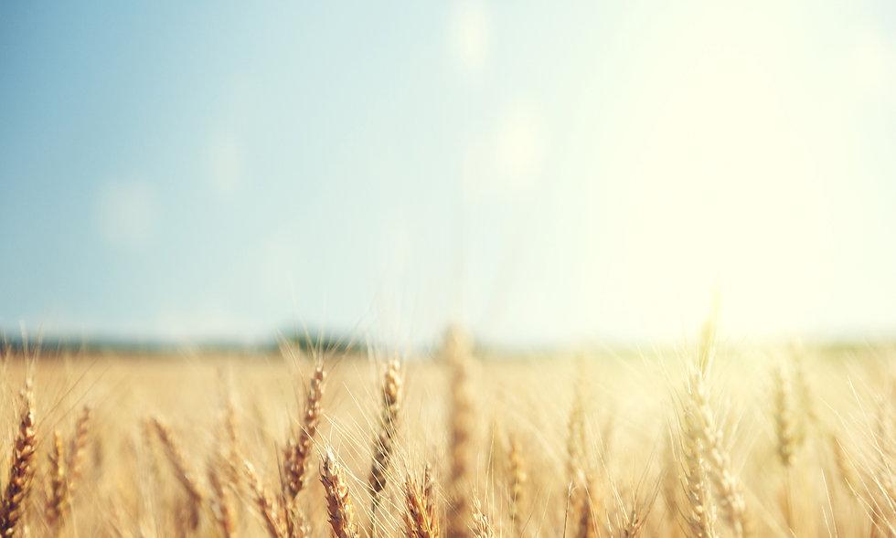 wheatfield%20sunrise_Big%20Sky_edited.jp