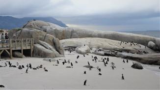 Пингвины в Африке!