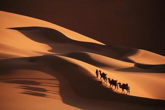 Последние верблюды!