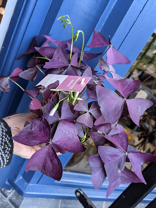 Oxalis Triangularis Purple Maike
