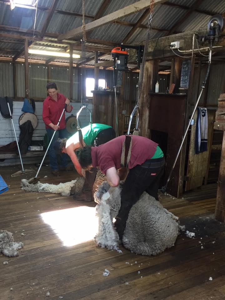 Adina shearing.jpg
