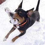 Hali Entlebucher Mountain Dogs love the snow.