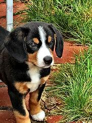 Entlebucher Mountain puppies availability.
