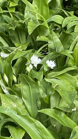 Wild Garlic.jpg