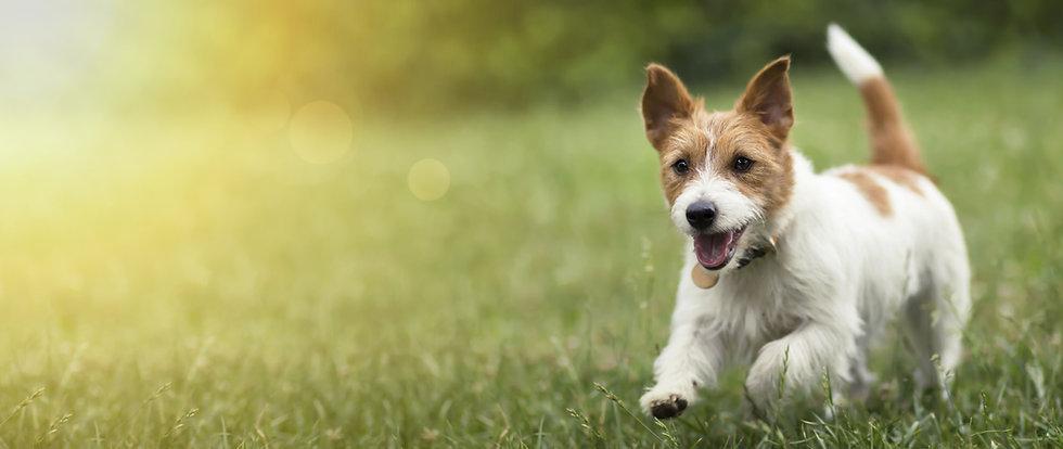 dog-running.jpg