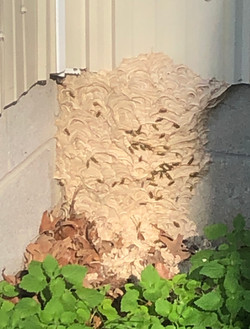 Hornets Nest, species unknown