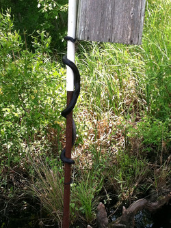 Determned Black Snake