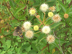 Pollinator Friendly Buttonbush