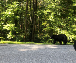 Young BlackBear, Wintergreen, VA, Ursus