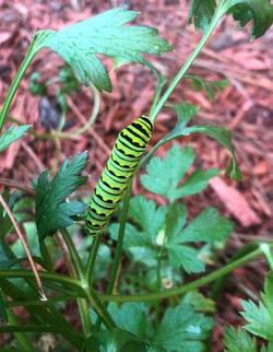 Old World Swallowtail caterpillar, Papil