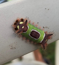 Saddleback Caterpillar, Acharia stimulea
