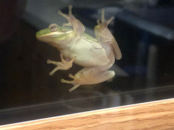 Green Tree Frog, Dryophytes cinereus