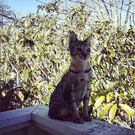 Savannah Kitten
