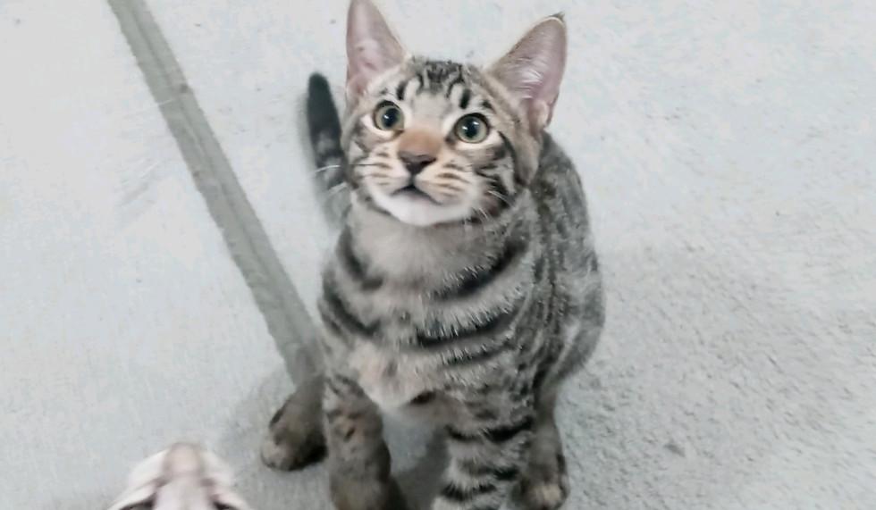 Spike F6 SBT Savannah Kitten