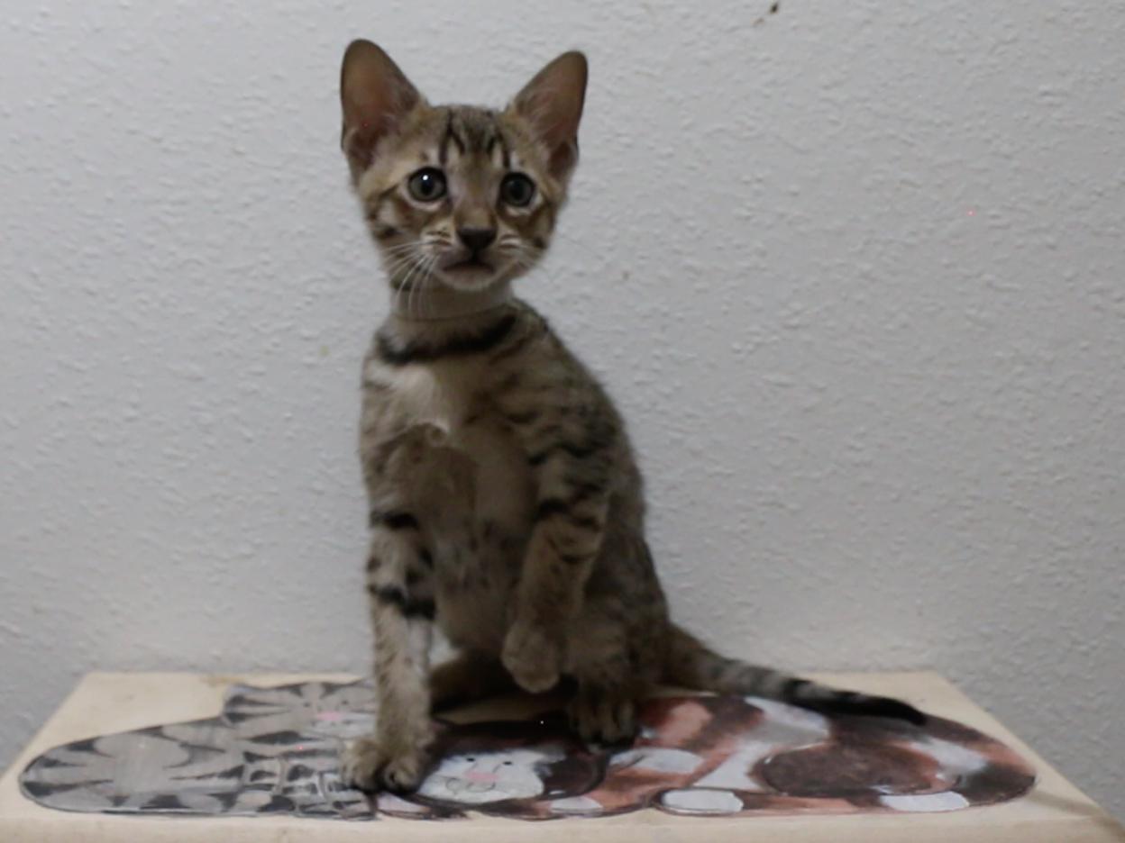 F5 SBT Savannah Kitten Callisto