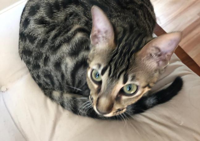 F5 SBT Savannah Kitten Lunaeg