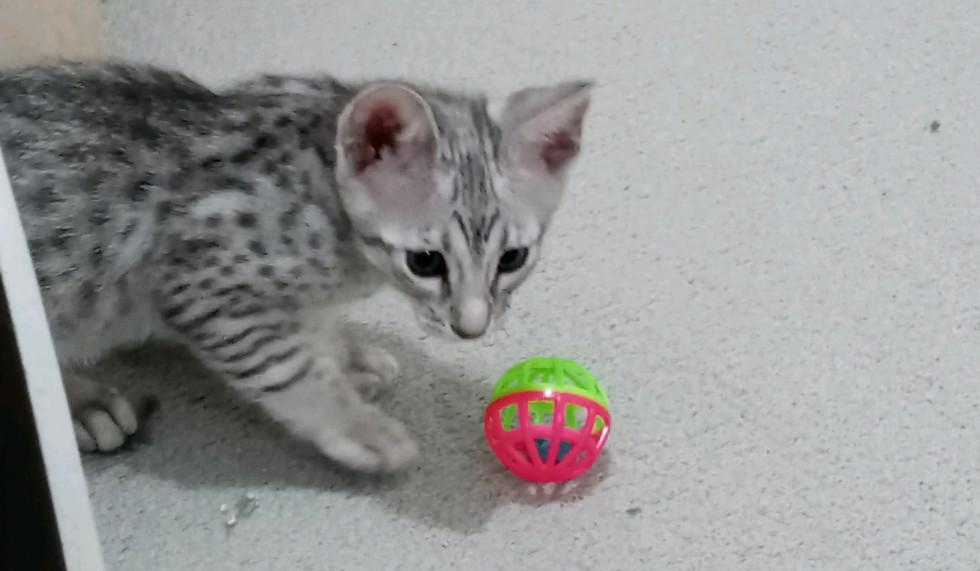 Kojak F5 SBT Savannah Kitten
