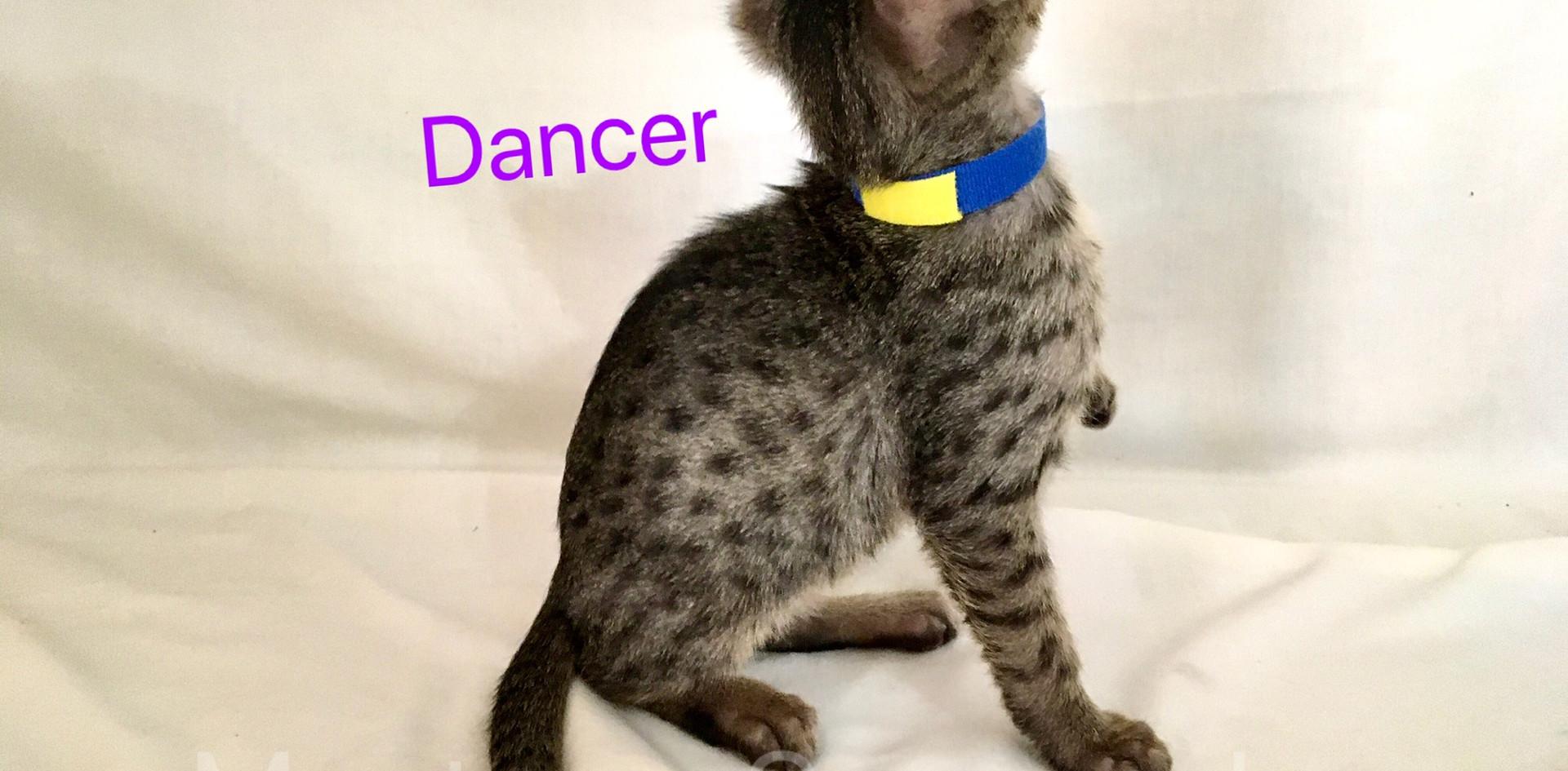 F5 SBT Savannah Kitten Dancer