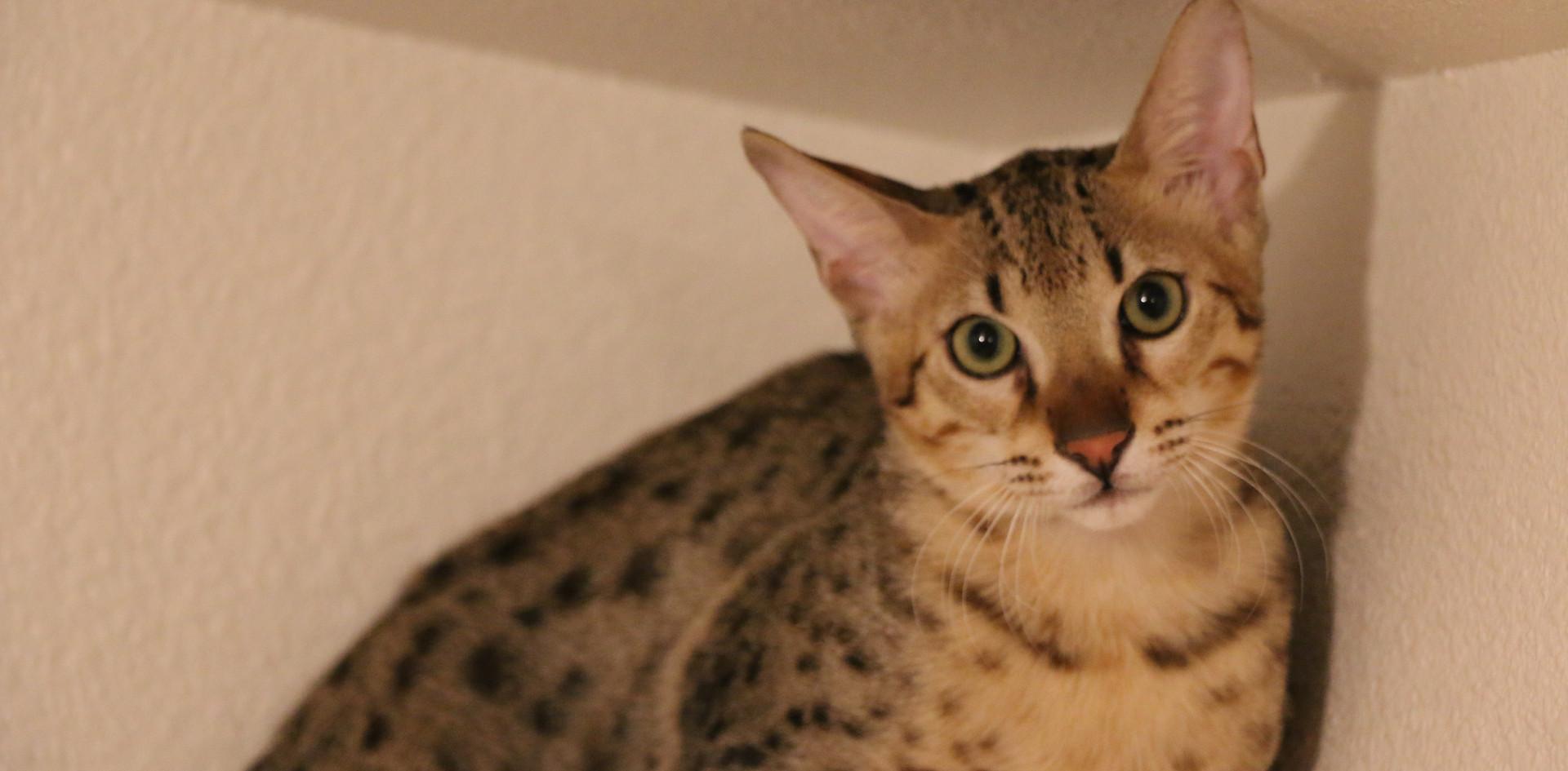 F5 SBT Savannah Kitten Banksie