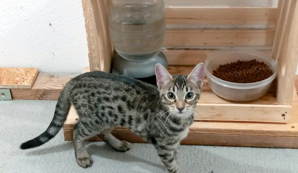 Chloe F6 SBT Savannah Kitten